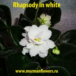 Rhapsody in white