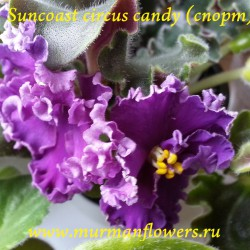Suncoast circus candy спорт